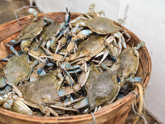 In a typical year, 500 H-2B seasonal workers are needed for Maryland's 20 licensed crab picking houses.