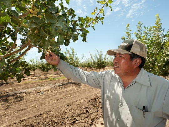 Farm supervisor Fernando Cortez inspects 4-year-old Kerman pistachio trees Monday in Terra Bella. Pistachios have become one of the fastest-growing. and reliable crops for farmers in California and Tulare County.