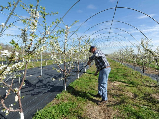 Charlie Smith, co-owner of T&S Smith and Sons in Bridgeville, does the final pruning on his Black Pearl Sweet Cherry trees before his high tunnels are covered next week.