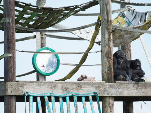 save the chimps art exhibit in port st lucie showcases masterpieces. Black Bedroom Furniture Sets. Home Design Ideas