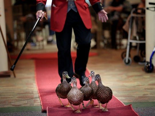 Peabody Duckmaster and local historian Jimmy Ogle marches the Peabody ducks through the lobby during a visit to Ave Maria Assisted Living Home in Bartlett. The Peabody ducks have been going on the road to visit local schools, churches, and rest homes since 2010, but they only travel during 'transition' times every three months when a new group of five ducks is being trained. Ogle then takes the veteran ducks on their 'farewell tour.'