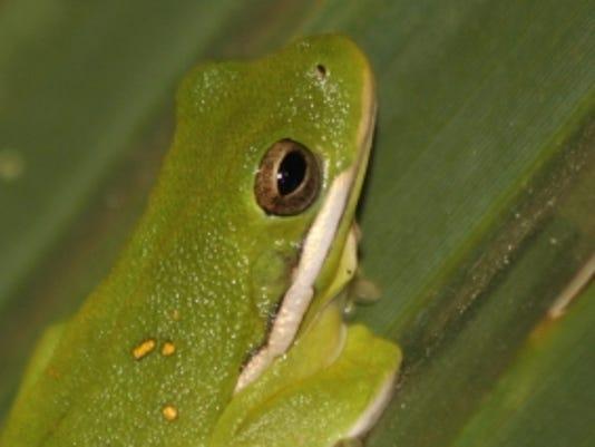 636409008297131541-Green-Treefrog.jpg