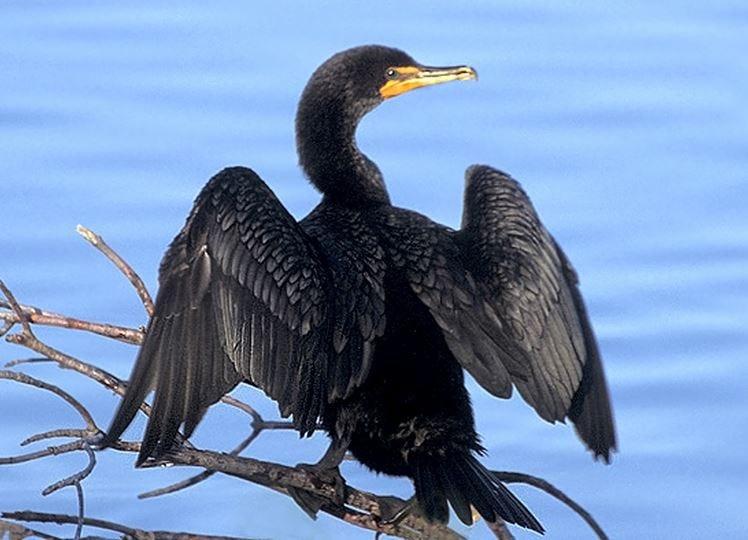 Cormorant King Wallpapers for cormorant killing plan