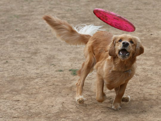 Riley runs freely in the Bark Park as she plays frisbee