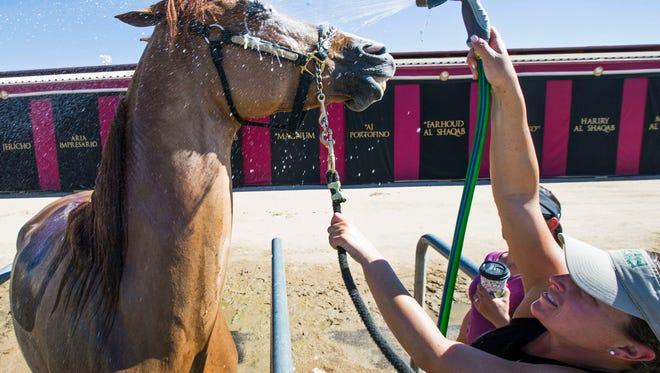 Lindsey Amann hoses off Shock Exchange at the Scottsdale Arabian Horse Show at WestWorld February 16, 2016.