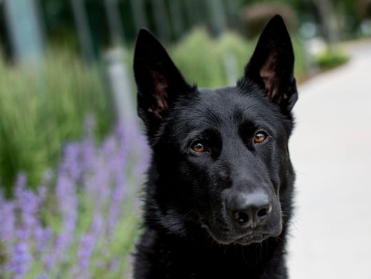 Ruger, a 14-month-old German shepherd, is a new security