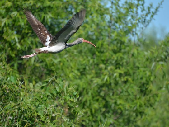 An ibis flies above Corkscrew Swamp Sanctuary, one