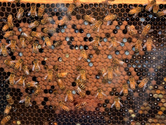 A close-up of bees inside the observation hive shows
