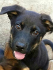 Cinammon, a 3-month-old Lab-shepherd mix at the SPCA