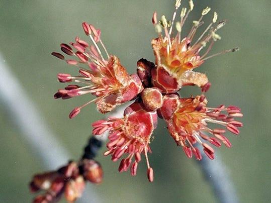 -Acer rubrum flower.jpg_20140725.jpg