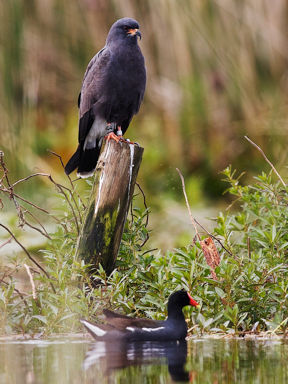 A male snail kite perches on Lake Tohopekaliga while a moorhen paddles underneath.  Snail kites are endangered. The Kissimmee River and chain of lakes are one of it's main habitats.