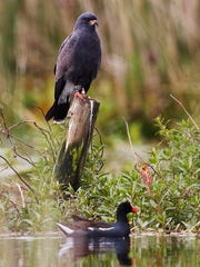 A male snail kite perches on a piling in Lake Tohopekaliga as moorhen scoots by underneath. The snail kite is widespread and common in Latin America, but in the U.S., it is listed as endangered both federally and in Florida, because of its small population and its extreme habitat specialization. The Kissimmee River and chain of lakes is one of its main habitats.