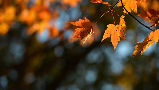 Early-morning sunlight illuminates the changing colors of maple leaves, Oct. 21, 2019, in the 4500 block of Depot Road in Harborcreek Township.