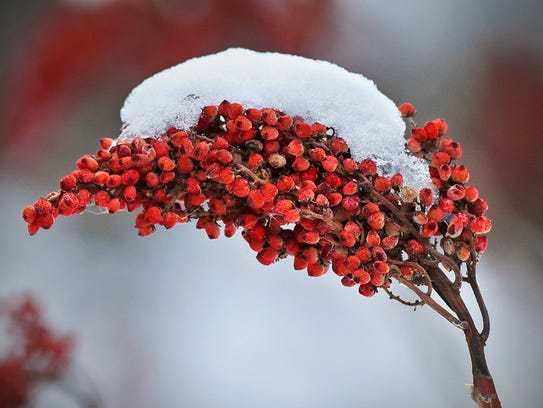 Snow covered sumac berries Tuesday, Dec. 29, in the