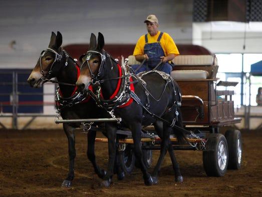 Ozark Mule Days at the Ozark Empire Fairgrounds on Saturday, August 30, 2014.