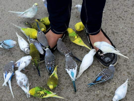 The feet of Claire Gossman, of Lowell, are covered in birds Thursday, August 20, 2015, in the aviary at Boulder Ridge Wild Animal Park in Alto.