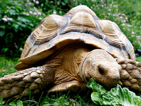 Phylis the Tortoise - Reptile Week