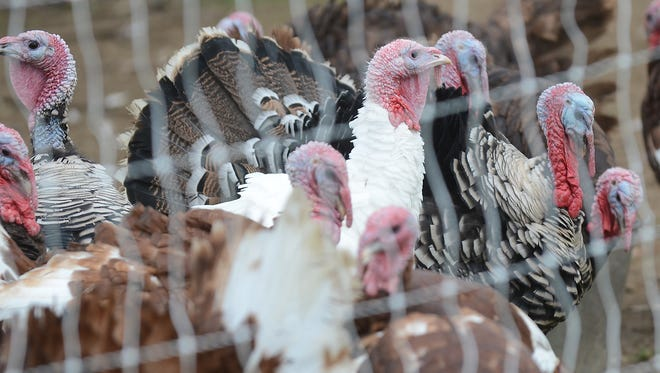 A variety of turkeys hang out in a pen at Novi's Tollgate Farm on Sept. 12. The birds and all of Tollgate's other two and four-footed animal friends will be available for visitors to see during their fall open house on Sept. 20.
