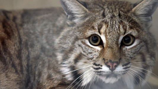 Rocky the bobcat hybrid, seen in April, escaped from his owner again last Saturday.