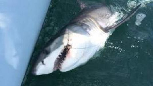 "Rich Lattanzi of the fishing boat ""On The Hunt"" leaders a Great White Shark boatside just off the beach in LBI."