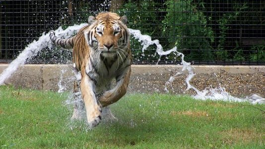 Tigger, Hattiesburg Zoo's 17-year-old Siberian tiger, passed away Friday after being euthanized due to health issues.