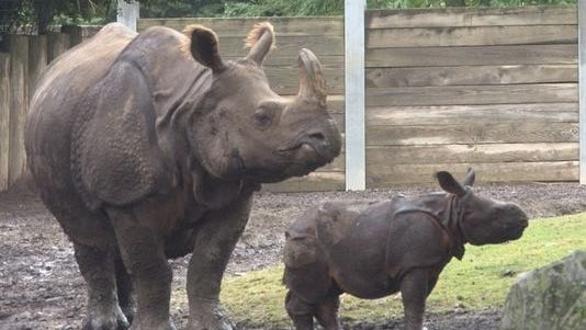 Baby rhino Monica with her mother at the Buffalo Zoo in New York.