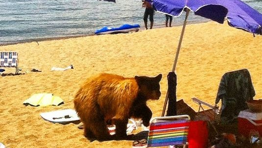 A 3-year-old male black bear wanders onto a private beach on Lake Tahoe.