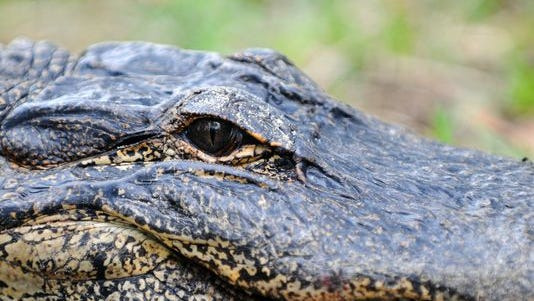 Alligator reportedly attacked a woman in Florida.