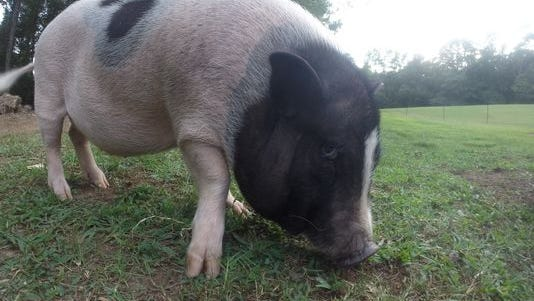 One of Susie Lundie's pet pigs grazes on grass. She and Katie Corbett are fighting to save a pig destined to be butchered as part of East Jackson High School's annual pork auction.