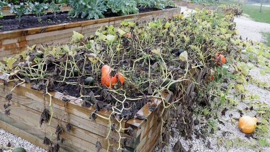 Thieves pilfered vegetables from the Meals on Wheels garden on New Jersey Avenue on Sunday. (Photo: Gary C. Klein/Sheboygan Press Media )