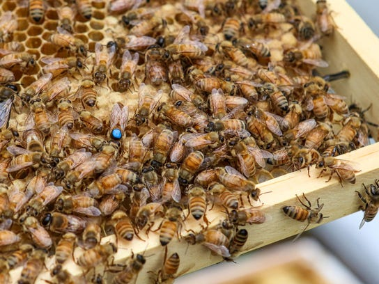 A queen bee, marked with blue paint, crawls along a beehive frame. Learn to raise your own bees at Alstede Farms.