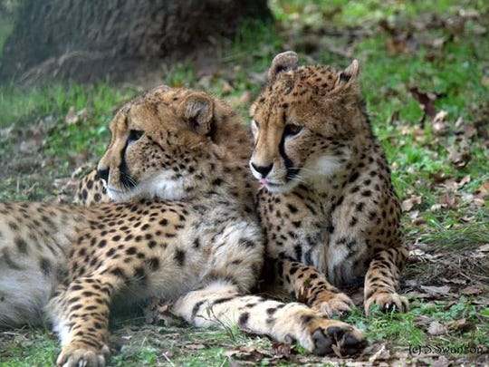 Sibling cheetahs from Wildlife Safari will be among the attractions at Must See Oregon this Saturday at The Oregon Garden in Silverton.