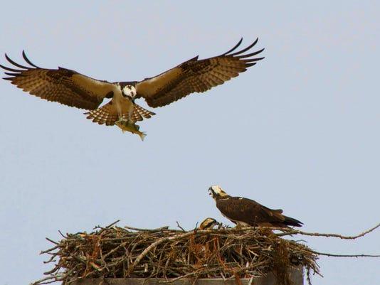 Seenesac_Osprey.jpg