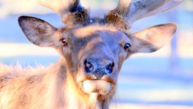 An elk bull drops by to greet photographer David Tremblay on Father's Day