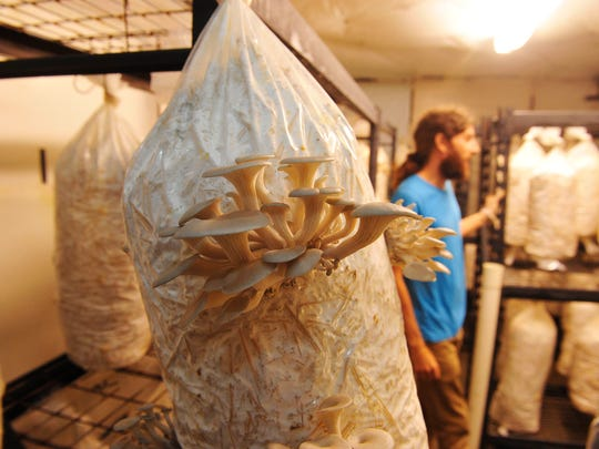 Josh Walker of Whispering Creek gives a tour of his oyster mushroom growing room on his farm near Gallatin. Whispering Creek sells its mushrooms primarily at farmers' markets, as well as at the Wild Cow.