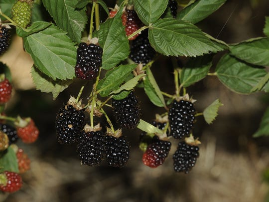 The Blueberry, Blackberry and Straberry Tasting Festival takes place 8 a.m. to 12 p.m. Saturday, May 30, at the Bravo Lake Botanical Garden, 4000 East Naranjo Blvd. in Woodlake. Entry donation is $5 per person. Chilren 5 and under are free. The gardens are wheelchair accessible.