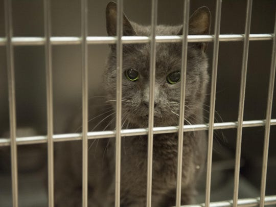 Adopt a cat for free at the Gloucester County Animal Shelter's Clear the Shelter Aug. 19, 2017.
