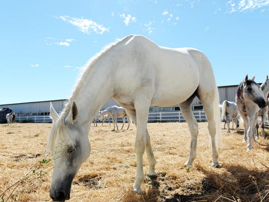 Arabians from Odysseo enjoy some down time at Gilroy Gaits in Hollister.