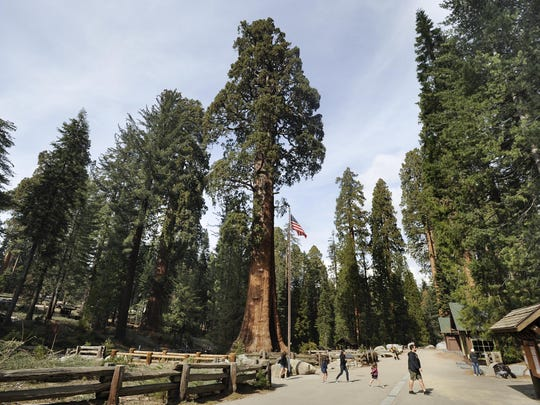 The Giant Forest with its giant sequoia trees, is located in Sequoia National Park. The Sentinel tree, center, is located in front of the Giant Forest Museum.The Sentinel is 2,200 years old, and is average height amongst the giant sequoias, with some of the other sequoias standing nearly twice as large.