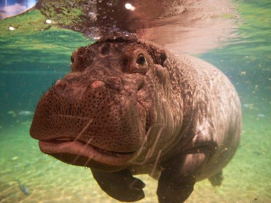 -hippos_01.jpg_20140529.jpg