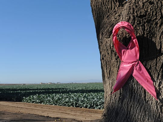 "Pink bows decorate the trees along Spreckels Boulevard in Salinas. The ""Pink Party & Press Conference,"" held at D'Arrigo Brothers headquarters, commemorated a 15-year combined effort in the fight against breast cancer."