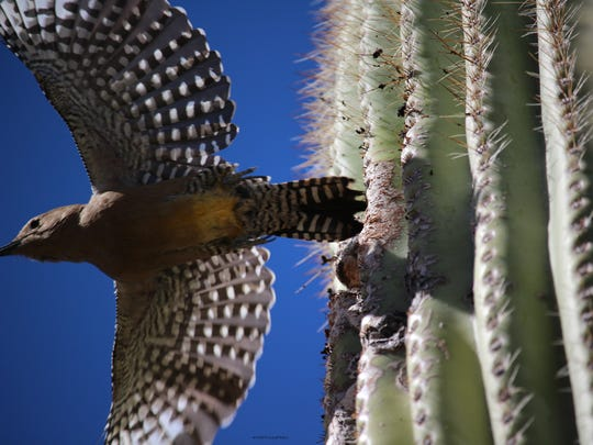 """Gila woodpeckers often nest inside saguaros, excavating holes with their sharp beaks. The resulting cavity is called a """"boot."""" Allison Mayes caught this one making a quick exit from its saguaro home in her Scottsdale neighborhood. See more of her photos at instagram.com/amayesingphotos."""