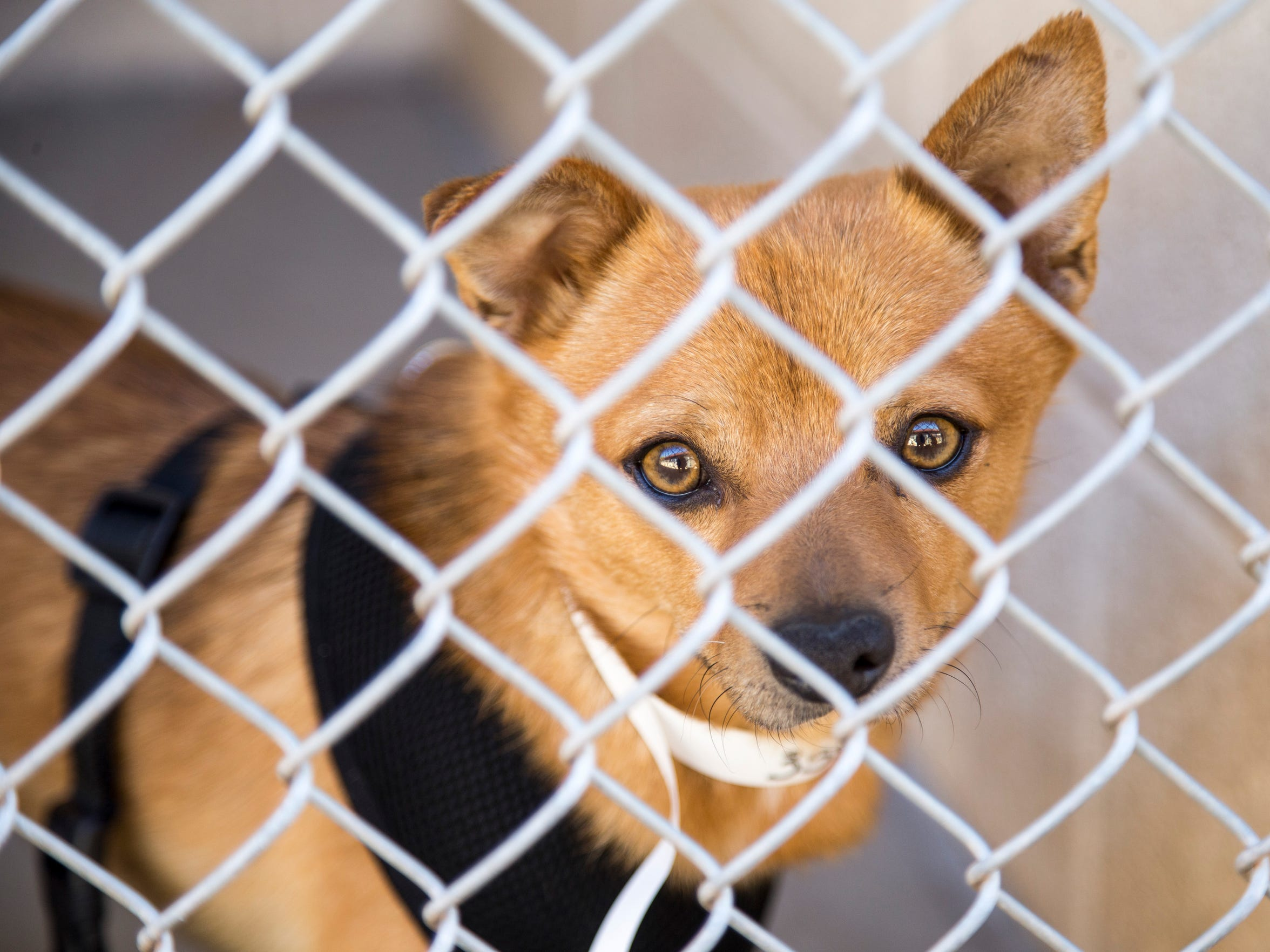 A dog stands in a kennel at the Maricopa County Animal
