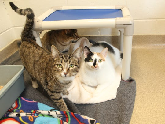 Cats play together at the Humane Society of Portage County in Plover on Thursday, Dec. 10, 2015.