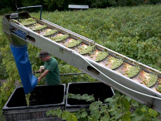 Bringing in the harvest at Lakewood Vineyards in Watkins