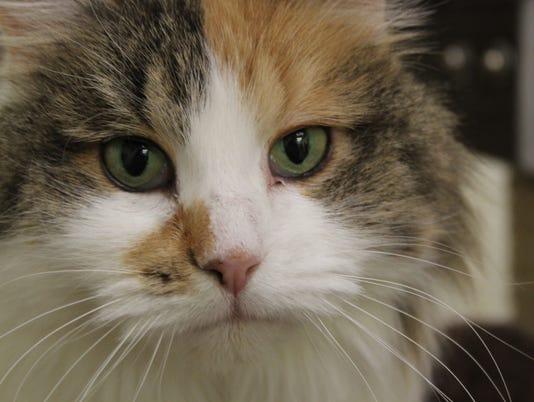 636187008435912235-Honey-Cat.JPG