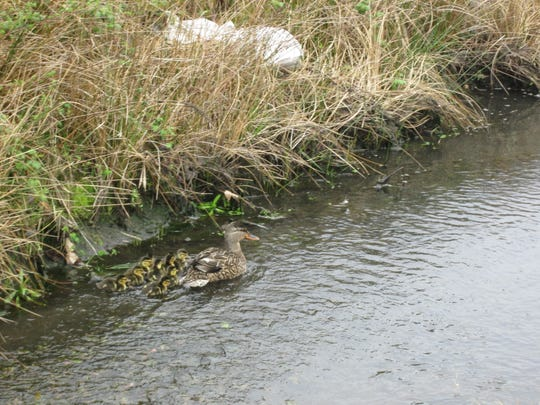 A mother duck reunited with her little ones after they fell into a Salem storm drain Saturday.