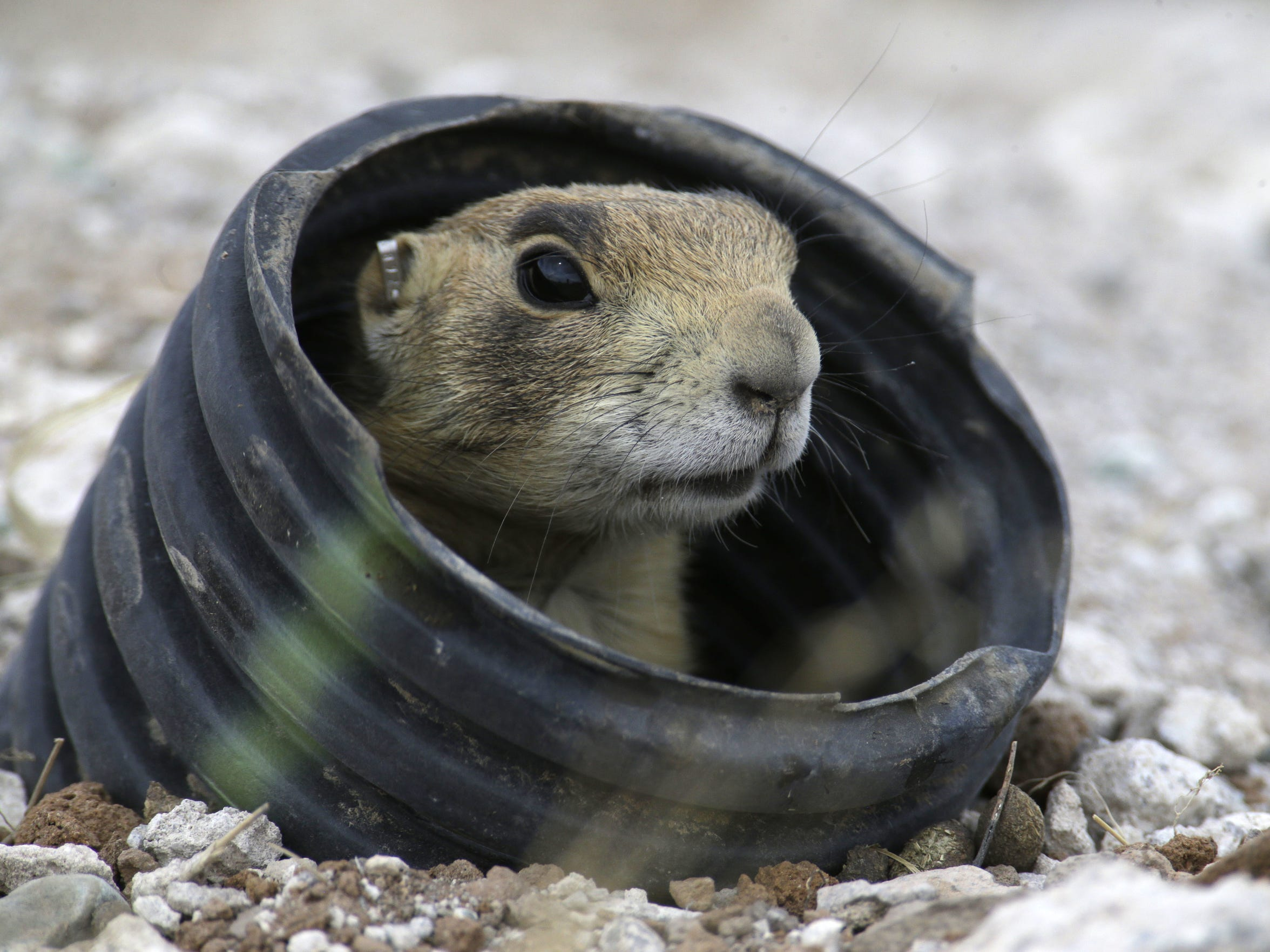 A prairie dog looks from a artificial burrow made