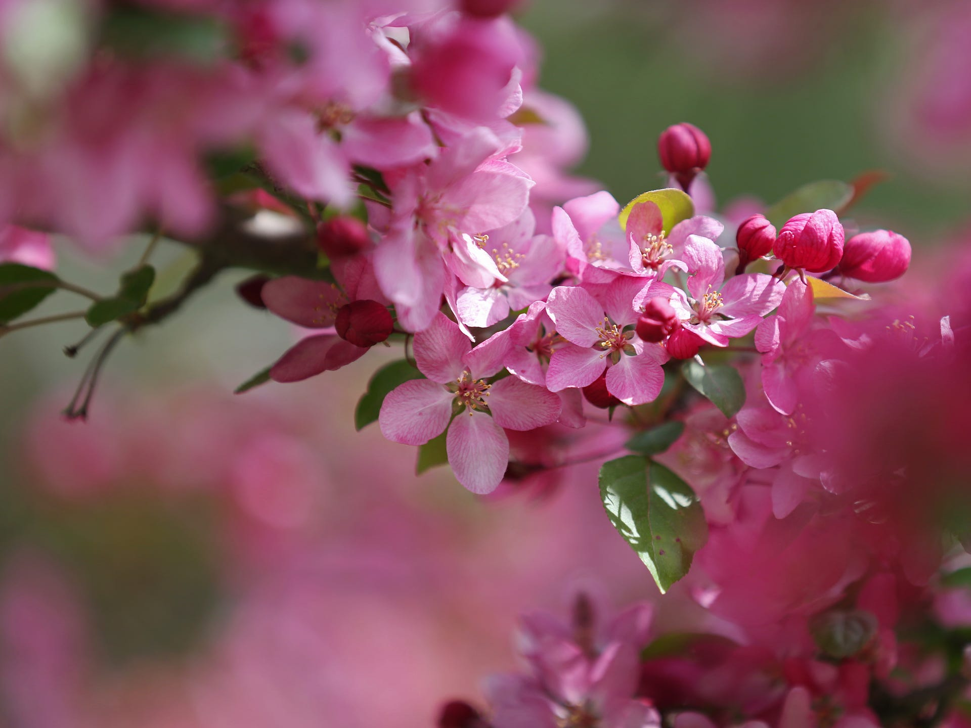 Photos Crabapple Trees Bloom In Water Works Park