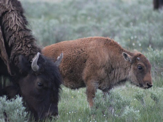 A bison calf stands near its mother near Grand Loop